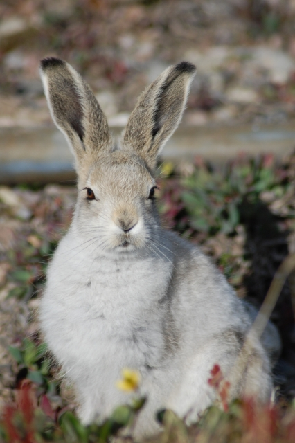 Arctic hare, July 2007